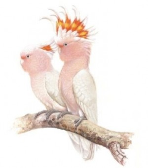 Coaster Pink Cockatoos