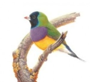 Coaster Gouldian Finch