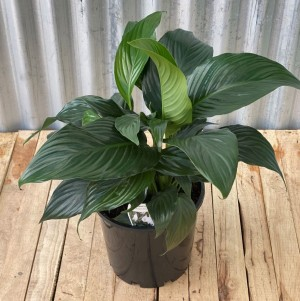 Spathiphyllum - Peace Lily 200 mm