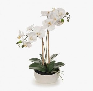 Orchid Phalaenopsis In Bowl