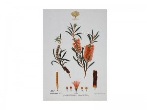 Bottlebrush - Tea Towel