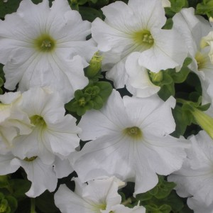 Petunia White Seedling 6 Pack Punnet
