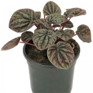 Peperomia 'Silver Heart' 130 mm