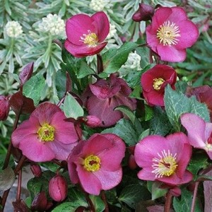 Hellebore Anna's Red 170 mm