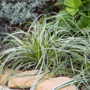 Carex 'Feather Falls' 140 mm