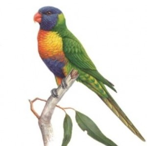 Coaster Rainbow Lorikeet