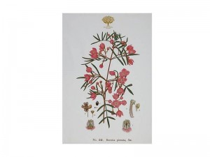 Boronia - Tea Towel